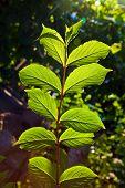 foto of hazelnut tree  - beautiful leaves of a hazlenut tree in detail - JPG