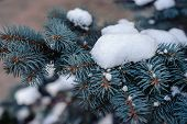 pic of blue spruce  - branches of a blue spruce in the snow - JPG