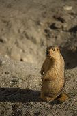pic of groundhog day  - Funny marmot peeking out of a burrow. 