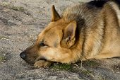picture of rabies  - German Shepherd resting relaxed on the ground - JPG