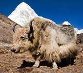 image of yaks  - Yak on the way to Everest base camp and mount Pumo ri  - JPG