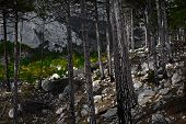 image of coniferous forest  - Stones in the coniferous forest in the foothills - JPG