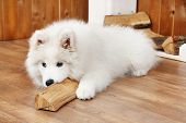 image of vertebrate  - Playful Samoyed dog with firewood on wooden floor and fireplace on background - JPG