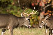 foto of sparring  - Two white-tailed deer - one large vs. a spike buck - sparring in an open meadow in Smoky Mountain National Park in Tennessee