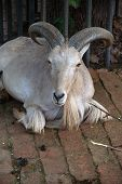 image of zoo  - Mountain Goat in the Zoo park - JPG