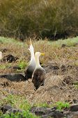 stock photo of albatross  - yellow headed waved albatross native to the galapagos islands - JPG