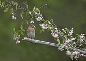 image of bluebird  - Female eastern bluebird with insect in pink flowers - JPG