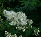 pic of meadowsweet  - White Meadowsweet with white elegant flowers floral background - JPG