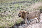 pic of african lion  - Male African lion standing open mouthed at Serengeti National Park Tanzania - JPG