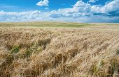 stock photo of storms  - Fields of ripe wheat move in a summer wind as storm clouds pass over a farm in southeast Idaho - JPG