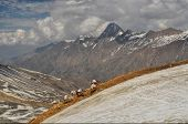 picture of caravan  - Caravan of donkeys in high altitudes of Himalayas mountains in Nepal