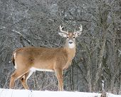stock photo of buck  - Whitetail Deer Buck standing in a woods in winter snow - JPG
