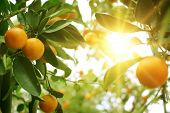 stock photo of orange-tree  - Fresh Orange tree in the morning sun - JPG
