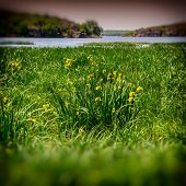 image of marshes  - spring flowering marsh grass on the river bank - JPG