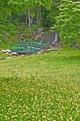 foto of buttercup  - a field of buttercups leading to a footbridge near a waterfall - JPG