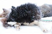 stock photo of sled-dog  - The black sled dog sleeps on a leash in the blizzard - JPG
