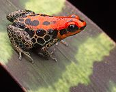 picture of jungle animal  - red poison dart frog - JPG
