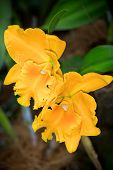 pic of yellow orchid  - Yellow Cattleya hybrid orchid flower close up selective focus - JPG