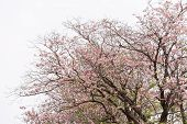 stock photo of trumpet flower  - tree with pink color flower blooming pink trumpet tree - JPG