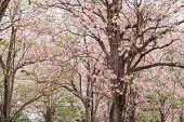 picture of trumpet flower  - flower tree blooming pink - JPG
