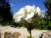 pic of geranium  - Close up of a white geranium against a blue sky background - JPG