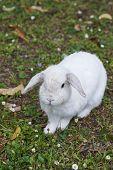 picture of dwarf rabbit  - detail of a white rabbit in a field in la spezia - JPG