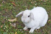 stock photo of dwarf rabbit  - detail of a white rabbit in a field in la spezia - JPG