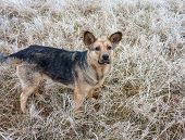 image of stray dog  - Stray dog in the meadow covered with hoarfrost - JPG