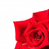 pic of single white rose  - red rose isolated on white background - JPG