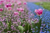 foto of blue rose  - Lots of rose tulips and tiny blue flowers blooming in the grass - JPG