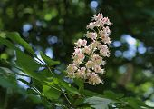 picture of may-flower  - Chestnut flower in the park in sunny day in May  - JPG