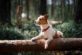 stock photo of jacking  - Dog Jack Russell Terrier walks in the park summer - JPG