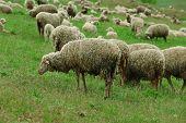 pic of sheep  - Sheeps grazing in meadow - JPG