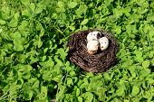 foto of bird egg  - Nest with bird eggs over green bush background - JPG
