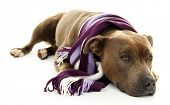 image of staffordshire-terrier  - American Staffordshire Terrier with colorful scarf isolated on white - JPG