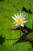 picture of water lily  - Beautiful white water lily closeup - JPG