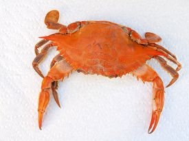 stock photo of cooked blue crab  - cooked blue crab from the Chesapeake Bay of Maryland on a paper towel - JPG