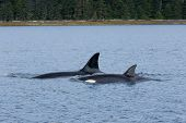 Mother Orca (Killer Whale) and calf