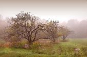 pic of apple tree  - apples trees in the mist after the rain - JPG