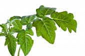 picture of plant pot  - leaf tomato isolated - JPG