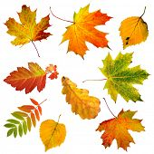 image of elm  - collection beautiful colourful autumn leaves isolated on white background - JPG