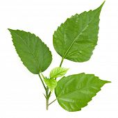 picture of green leaves  - green leaves isolated on white - JPG