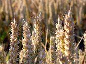 Постер, плакат: Золотые колосья пшеницы
