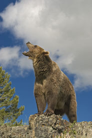 stock photo of grizzly bear  - Grizzly bear roaring against blue sky mountain ridge in Montana - JPG