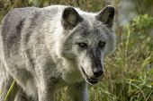 The Timber Wolf (canis Lupus), Also Known As The Gray Wolf , Natural Scene From Natural Environment  poster