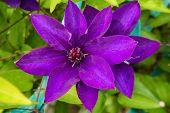 Purple Clematis Arabella Blooming In Summer Garden. Purple Flower Close Up. Purple Clematis Flowers  poster