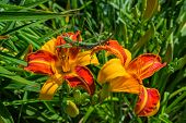 Green Stick Insect Or Green Phylliidae. The Green Phasmatodea Sits On Flower Yellow-orange Daylilies poster