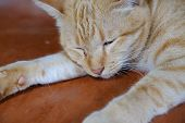 Orange Cat Tabby Feline Lying Resting On Floor poster