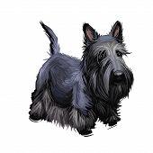 Scottish Terrier Domestic Animal Originated From Britain Scolnad Doggy Digital Art Illustration . Do poster