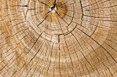 The Growth Rings Of A Tree. Ree Stump Of A Felled Tree - Section Of The Trunk With Annual Rings poster